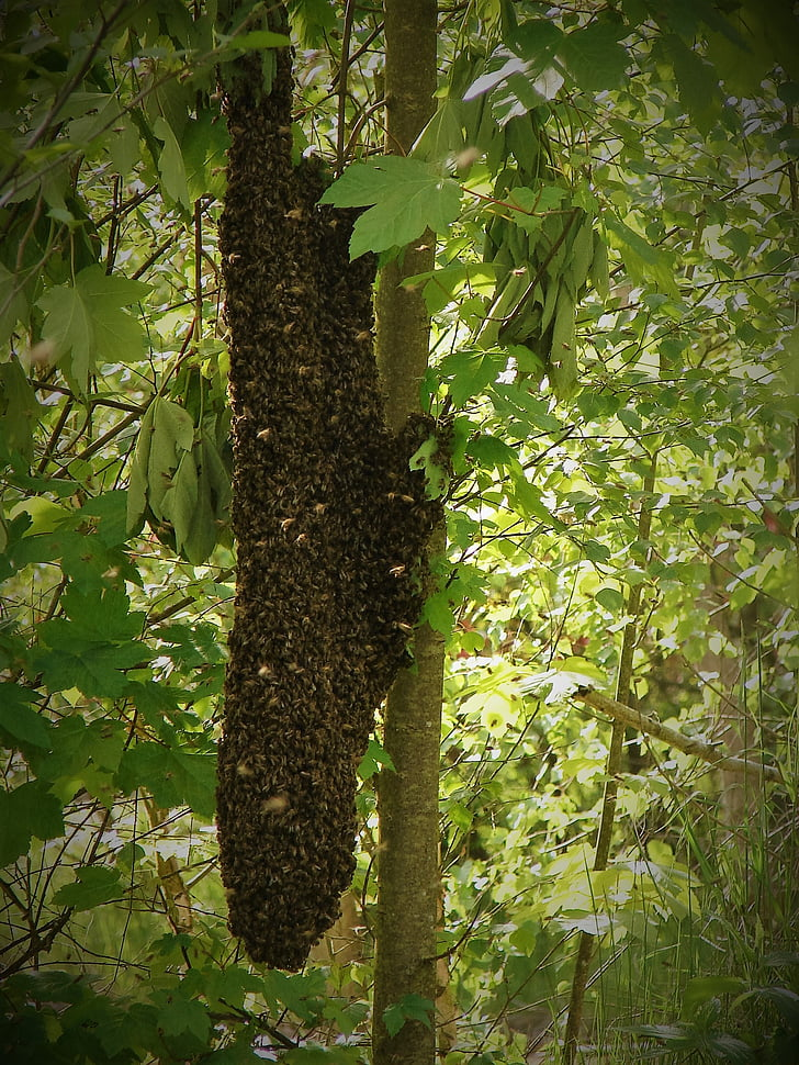 swarm, the bees, insect