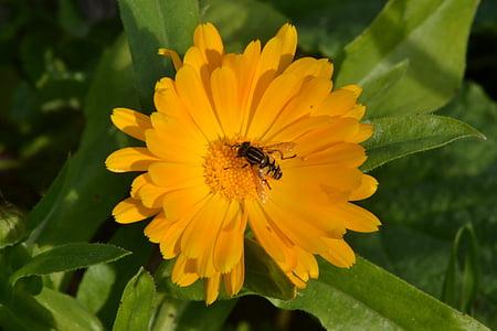mosca de voltar, Gerbera Margarida, sol, jardí