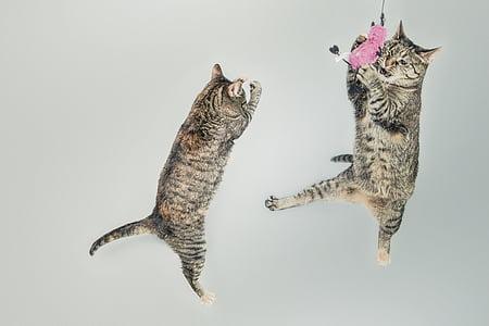 две, кафяв, таби, котки, домашни любимци, животни, средата на въздуха
