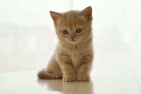 kitten, british cat, pet, cute, cat, sweet, little