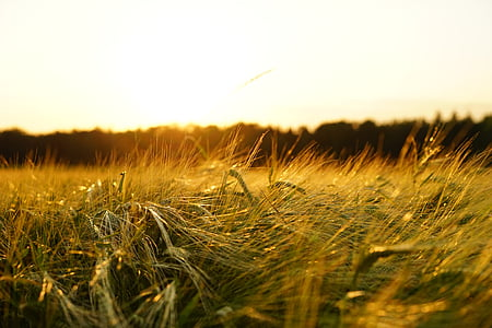 barley, field, spike, grain, cereals, ripe, agriculture