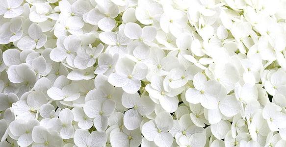 Hortènsia, pètals de flor petita, jardí, l'estiu, natura, pètal, planta