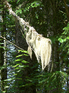 barber's itch, lichen, branch, needle branch, conifer, fir, holly