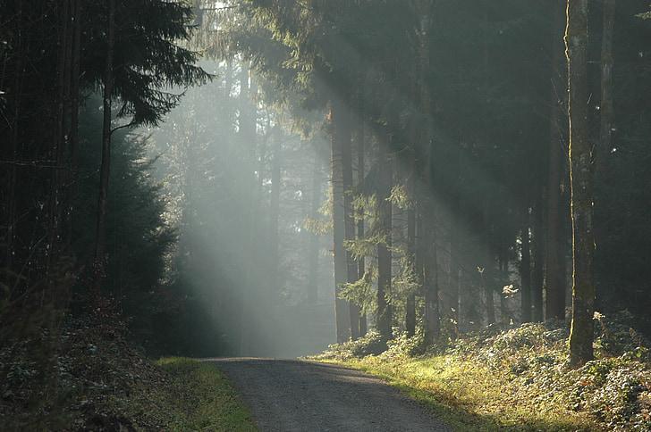 bosc, arbres, sol, llum del sol, raig de llum, Sunbeam, distància