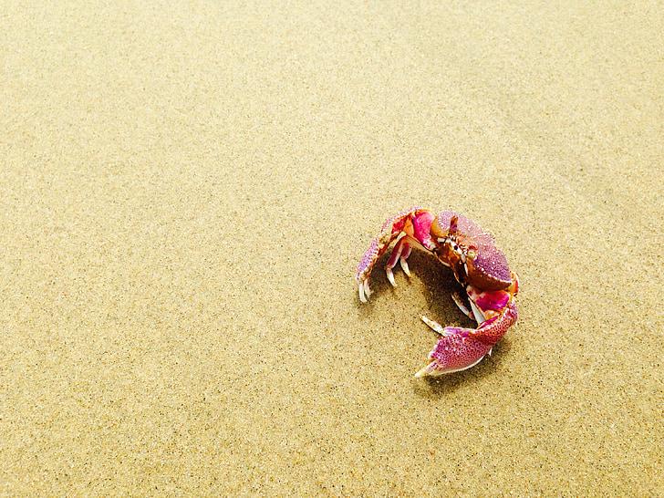 naturen, djur, krabba, Sand, stranden, vilda djur, kräftdjur