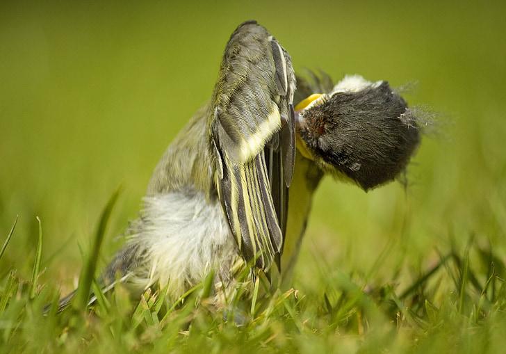 голям синигер мацка, Английски градината птица, градински птица Англия, голям синигер птица