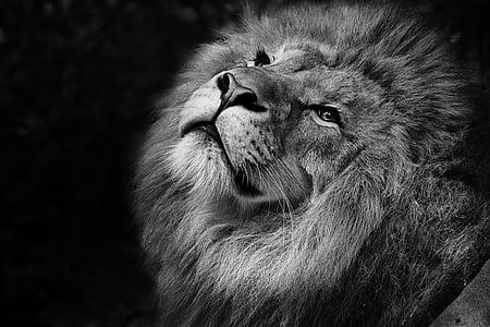feline, lion, tawny, african, zoo, wild, africa
