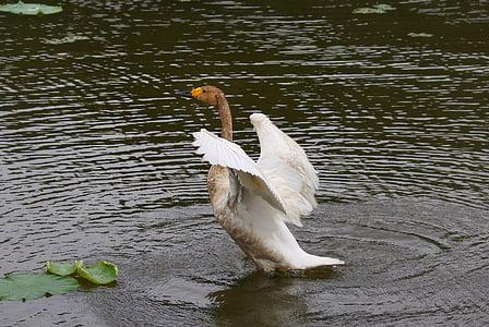animal, waterfowl, swan, wild birds, wild animal, natural, landscape