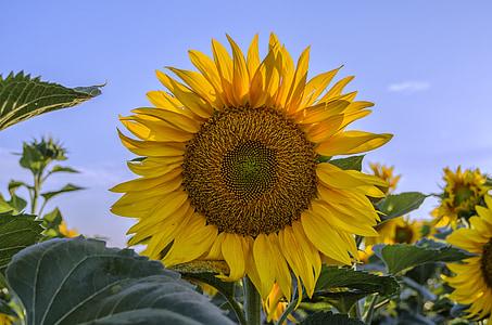 päevalill, suvel, Sunshine, kollane lill, taimed, kollane päevalill, kollane