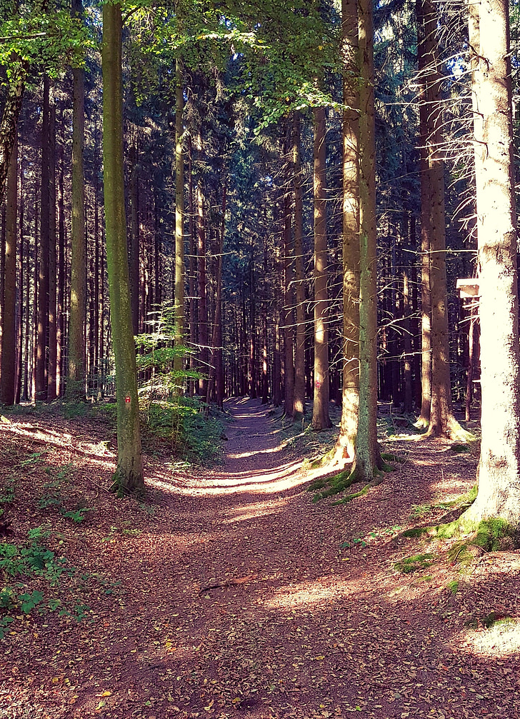forest, forest path, autumn, walk, trees, nature, away