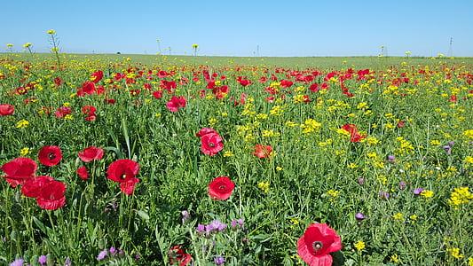 poppy, field, nature, wild flowers, poppy flower, colors, the poppy field