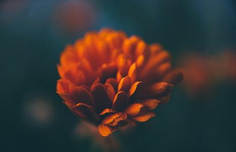 flower, petals, nature, floral, summer, blossom, botanical