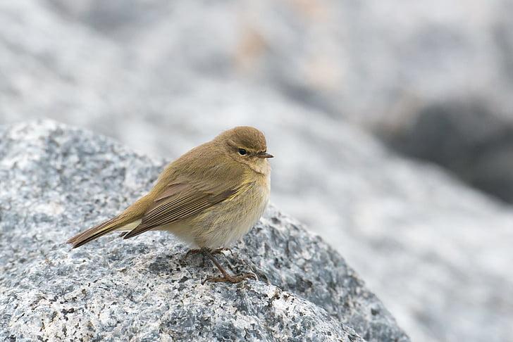 chiffchaff, bird, willow warbler, phylloscopus collybita, helgoland, songbird, migratory bird