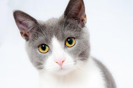 kissa, Pet, eläinten, kotimaan, turkis, muotokuva, Söpö