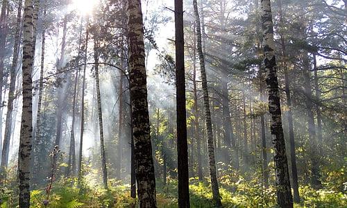 die Strahlen der Sonne, Licht, Wald, Strahlen, Tag, Morgen
