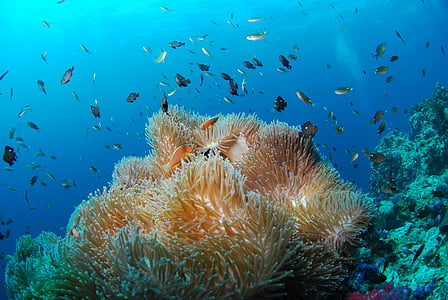 Submarinisme, sota l'aigua, Mar, Submarinisme, escull, animal, natura