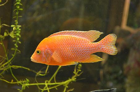 fish, orange, water, nature, animal, aquatic, colorful