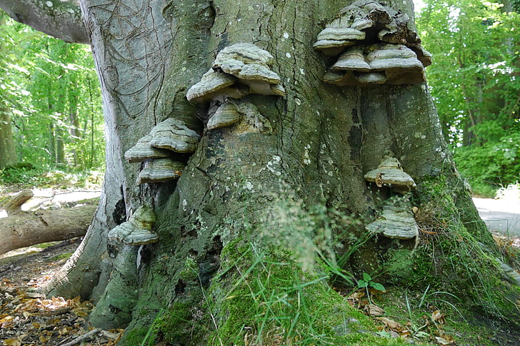drevo glive, drevo, drevo gob