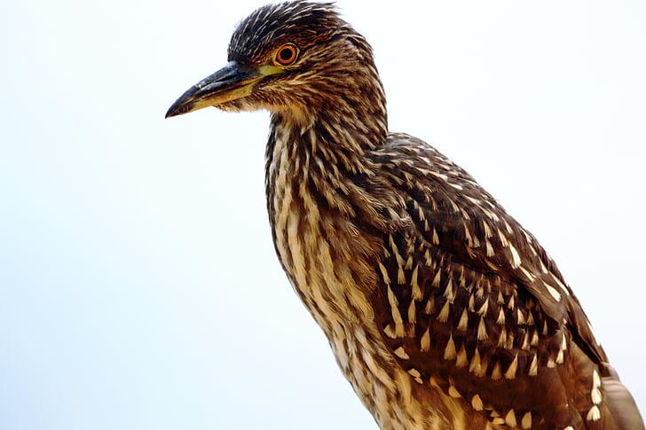 pták, pruhovaná heron, jedlík Ryba, ryb jíst pták, Při pohledu, pták na přírodní pozadí, ptáček