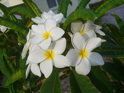 프 르 메리 아, 꽃, plumeria, 템플 트리, 하얀, 열 대, 자연