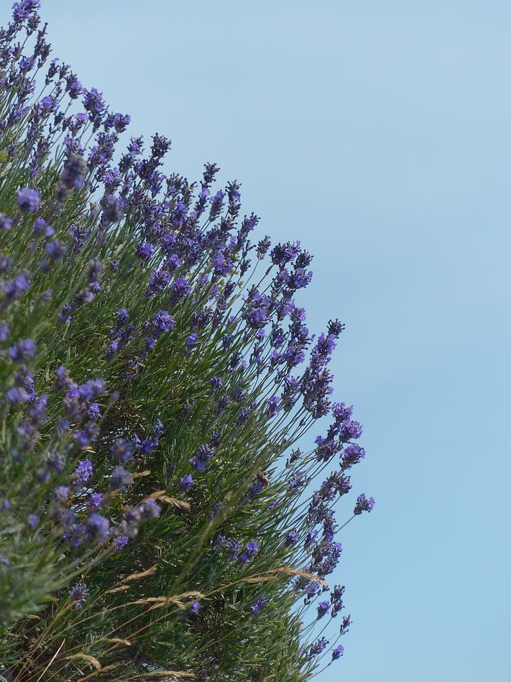 Levanda, gėlė, gėlės, violetinė, laukinių augalų, WildBlue, levandų gėlės