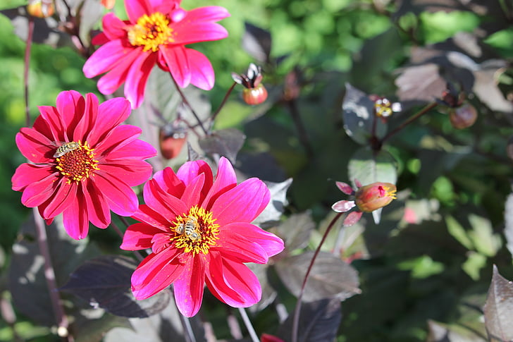 flowers, daisy, daisies, blossom, bee