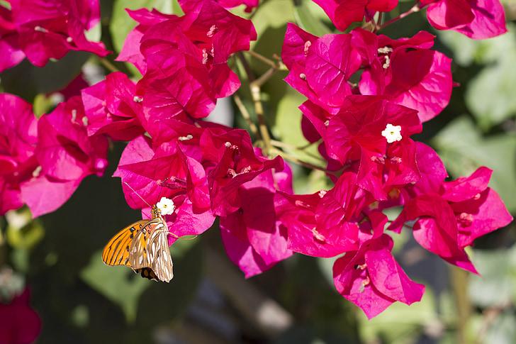 бабочка, Цветы, Бугенвиль, Природа, крупным планом, красный