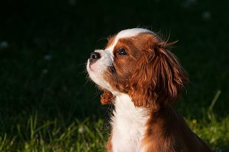 dog, pet, small dog, young dog, puppies, pets, animal