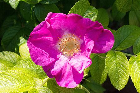 yabani gül, çiçeği, Bloom, çiçek, Gül, pembe, doğa