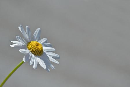 Margarida, flor, macro, groc, Margarida, natura, planta