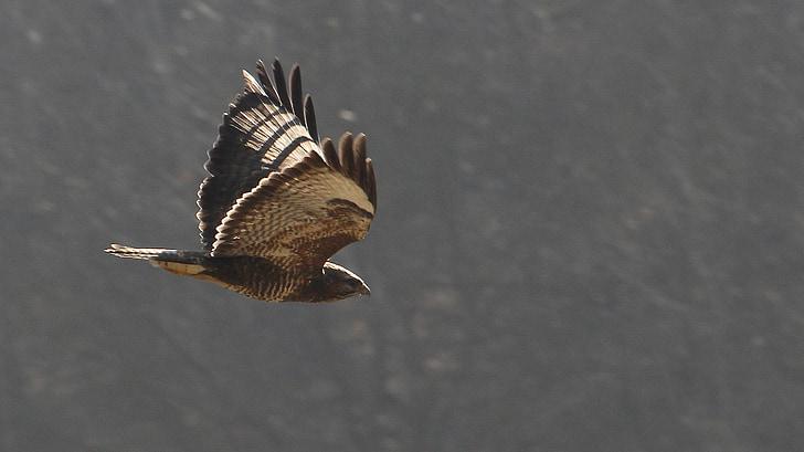 птица, раптор, птица в полет
