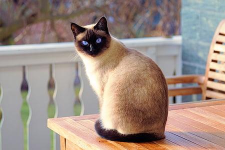 kissa, Siamilainen katti, turkis, pentu, rotu kissa, Mieze, Siamilainen