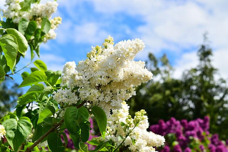 białego bzu, biały, liliowy, kwiaty, Bush, ogród, fioletowy gałąź