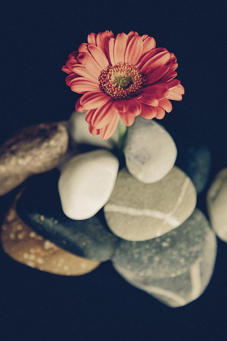blomst, Blossom, blomst, gerbera, ville blomster, anlegget, rød