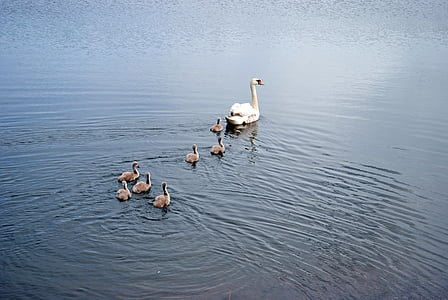 swans, family, lake, water