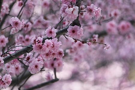 Sakura, flor del cirerer, cirerers japonès, flor, arbre, Rosa, cirera ornamental