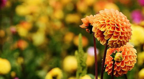 Dahlia, daaliate, Sügis, Korvõielised, lilleaed, Dekoratiivne lill, Dahlia Aed