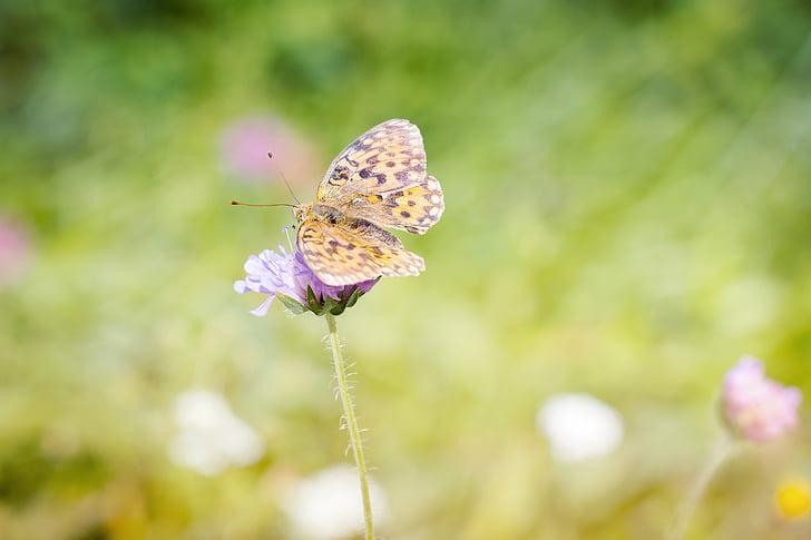 Aurinia mitjanes, argynnis niobe, edelfalter, papallona, natura, l'estiu, Prat