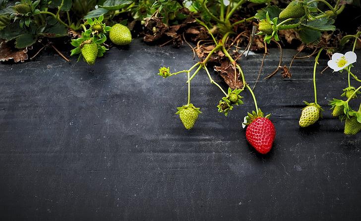 maduixes, fruita, creixement, Orgànica, jardí, baies, madures