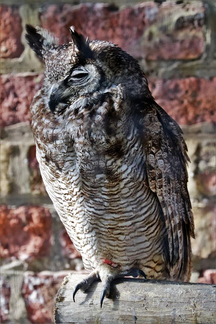 eagle owl, owl, lesser horned, bird, wildlife, nature, predator