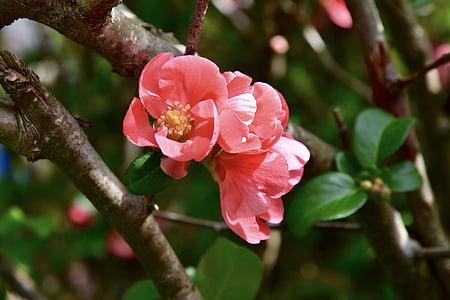 virágok, rózsaszín, kényes virág, rózsaszín mályva