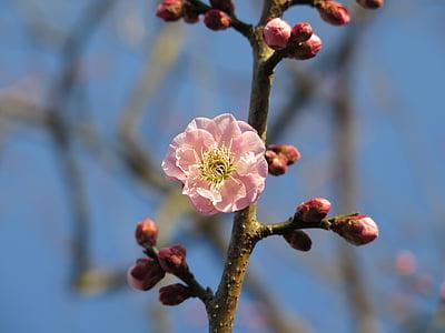 plommon, Blossom, Plum blossom, Rosa, träd