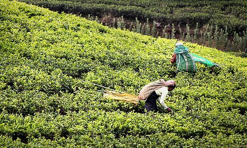 žetva čaja, t, plantaža čaja, Šri lanka, radnik u, čaj berače, plantaža
