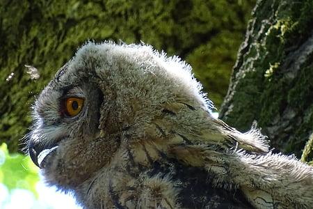 독수리 올빼미, 랩 터, 올빼미, 젊은 올빼미, 새, 자연, 야생 동물