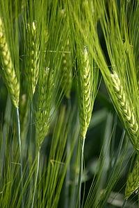 green, ear, cereals, nature, field, grain, summer