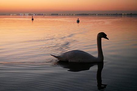 swan, pond, evening