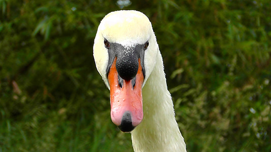 swan head, swan, view, close, bill, bird, birds