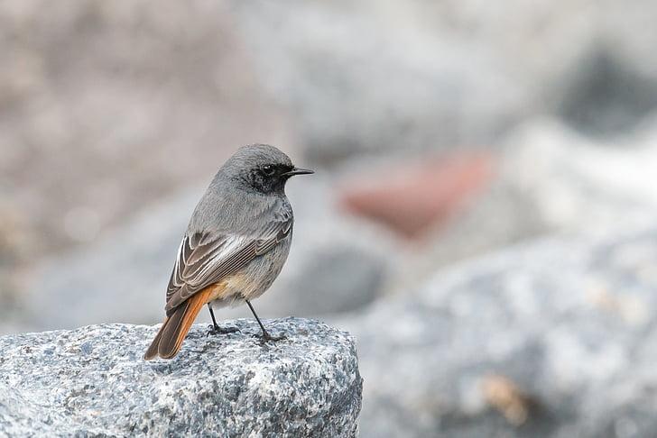 black redstart, phoenicurus ochruros, helgoland, migratory bird, grey, songbird, small