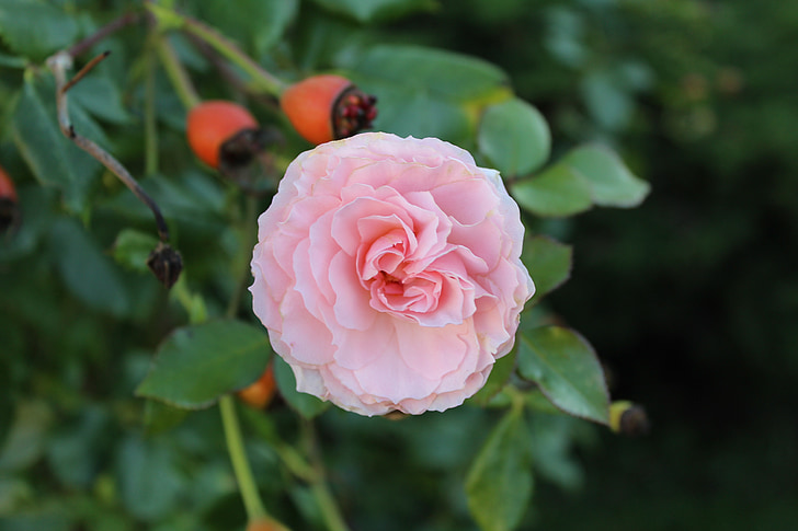 Rosa, flor, flors roses, flor, flor, rosa Rosa