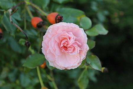 上升, 花, 玫瑰绽放, 开花, 绽放, 粉红色的玫瑰